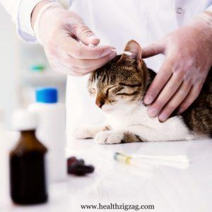Symptoms and treatment of fatty liver in cats